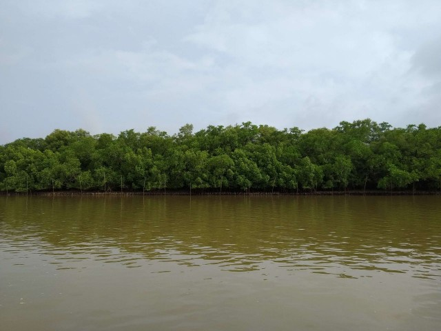 Mangrove forest on Chorao Island